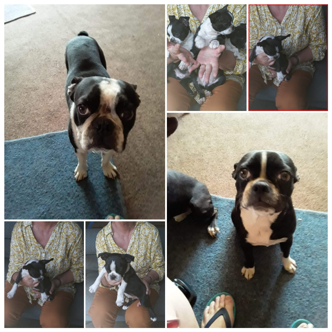 Boston Terrier Puppies in Johannesburg (19/12/2019)