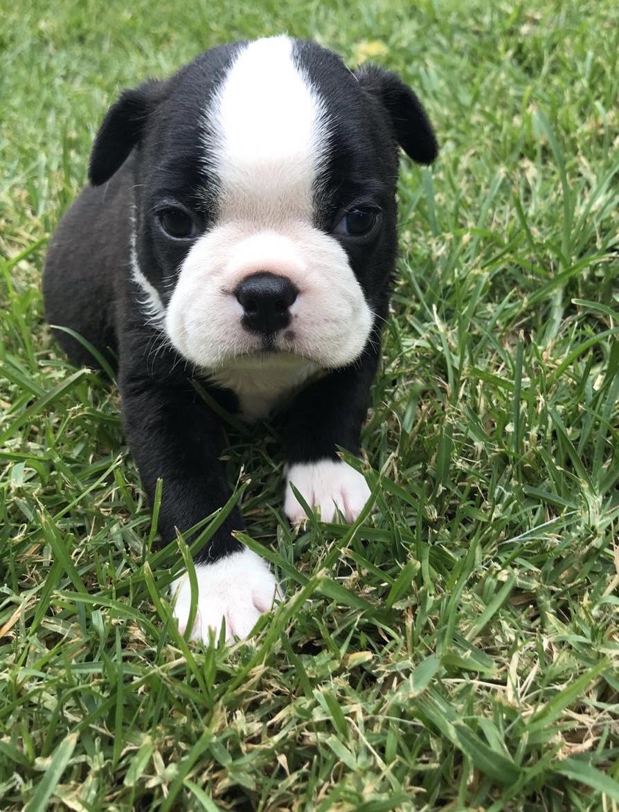 Boston Terrier Puppies in Mpumalanga (19/01/2020)
