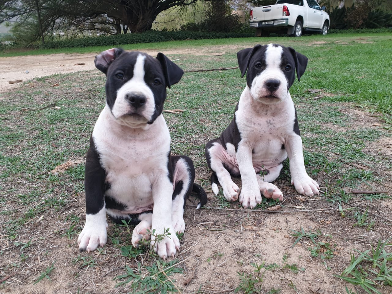 Terrier Puppies in Cape Town (14/02/2020)