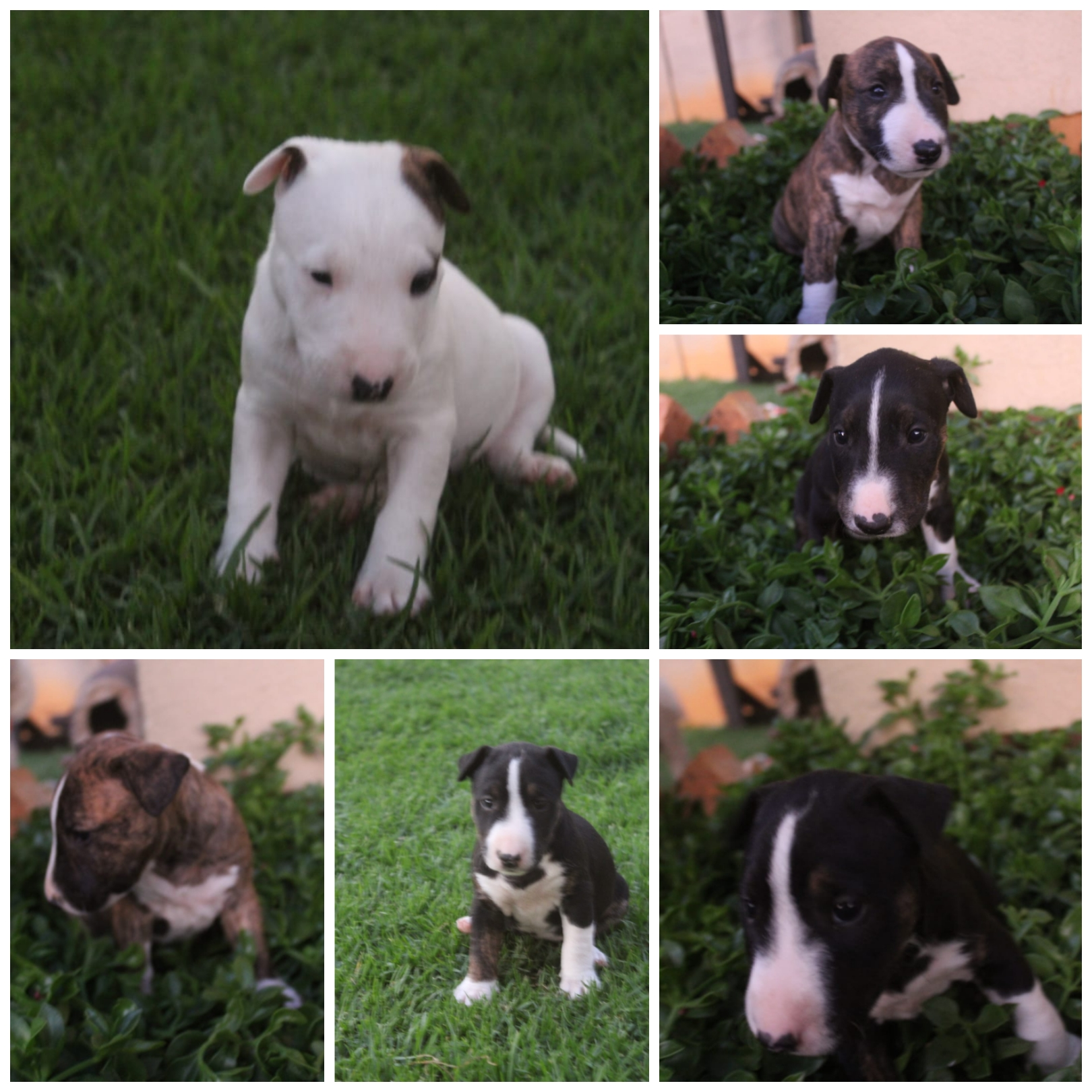 Bull Terrier Puppies in East Rand (29/02/2020)