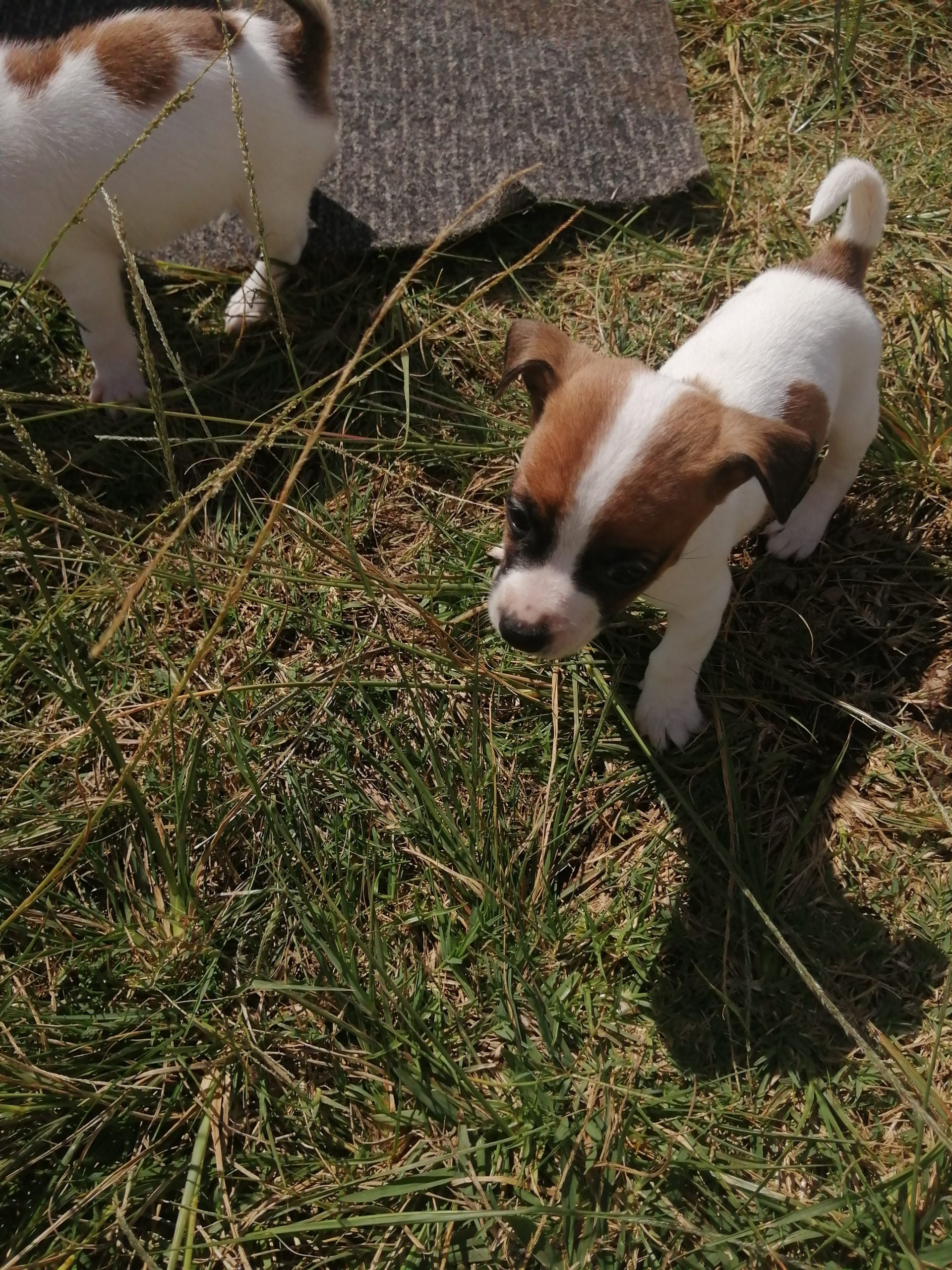 Jack Russell Puppies in Johannesburg (16/04/2020)