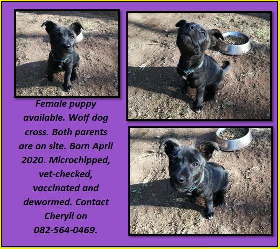 German Sheperd Puppies in East Rand (03/07/2020)