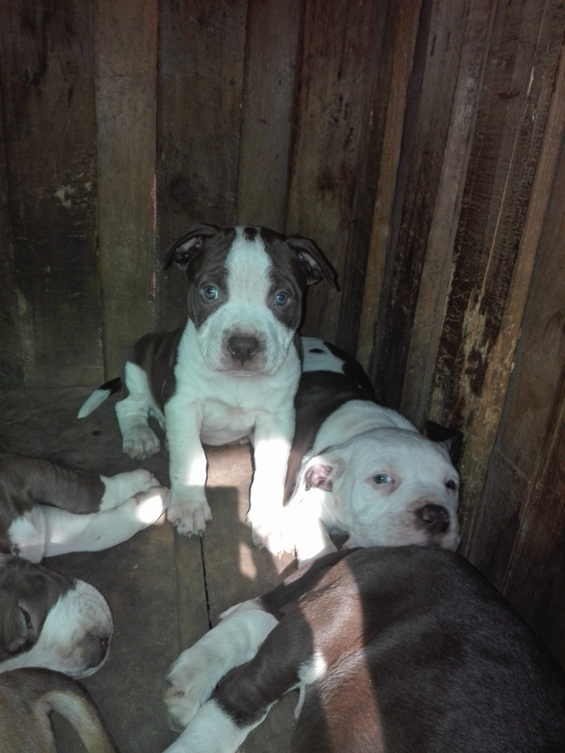 Pitbull Puppies in Kwazulu Natal (26/07/2020)