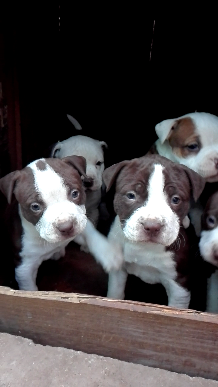Pitbull Puppies in Kwazulu Natal (15/07/2020)