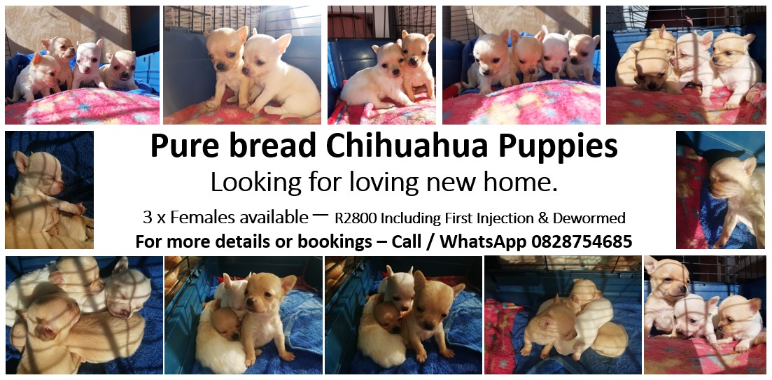 Chihuahua Puppies in Other (21/07/2020)