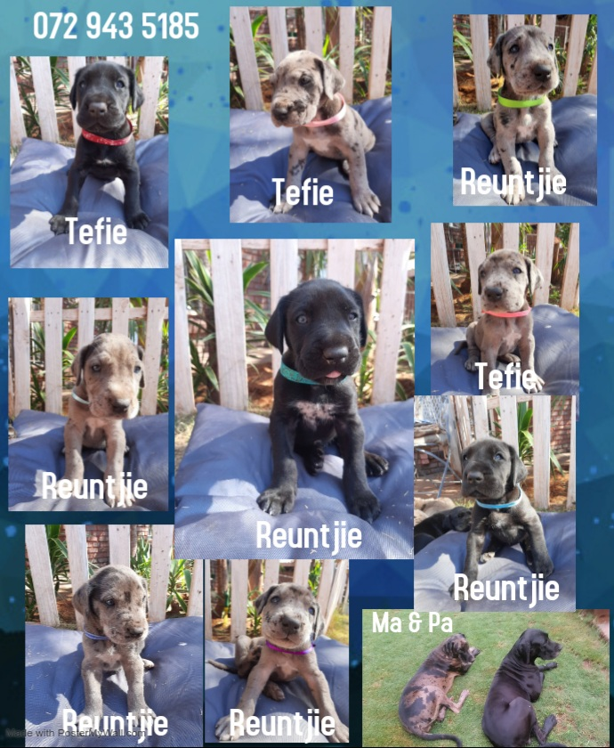 Great Dane Puppies in Other (18/08/2020)