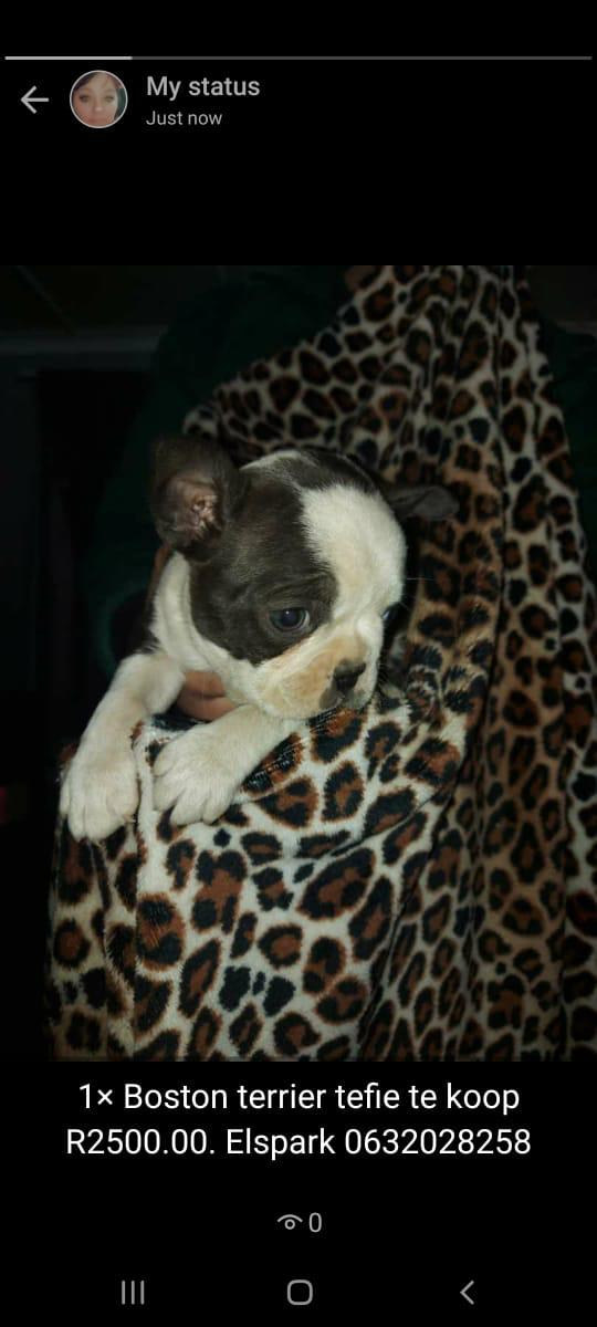 Boston Terrier Puppies in East Rand (04/08/2020)