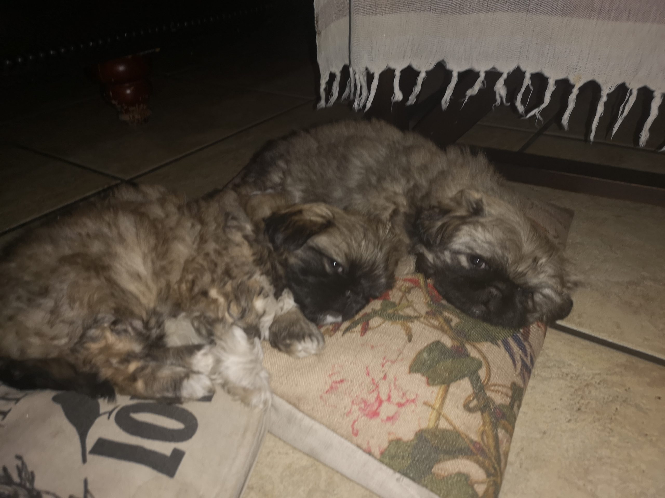 Pekingese Puppies in Mpumalanga (05/08/2020)