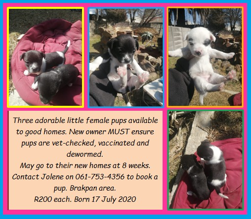 Jack Russell Puppies in East Rand (15/08/2020)