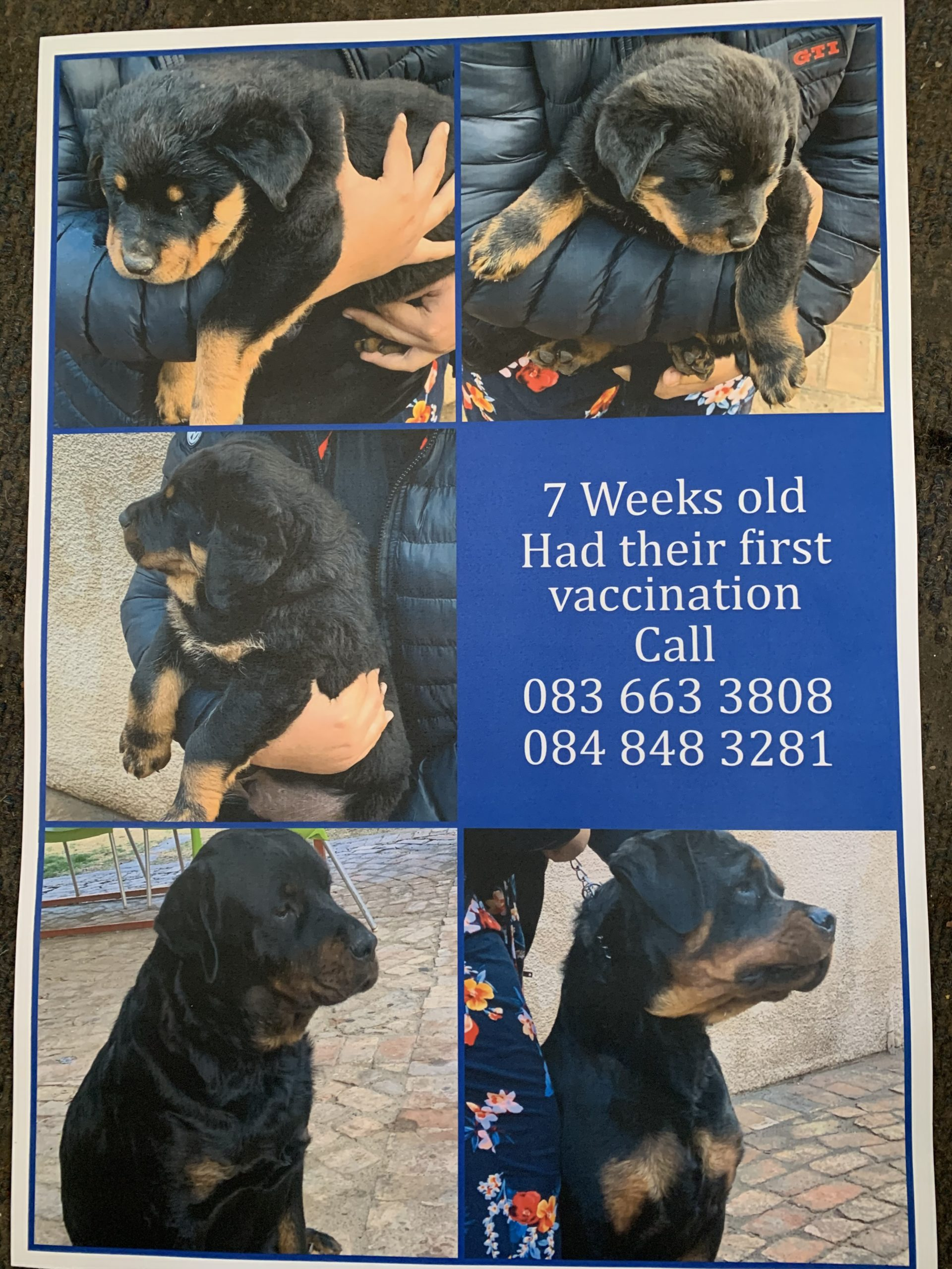 Rottweiler Puppies in Welkom (06/09/2020)