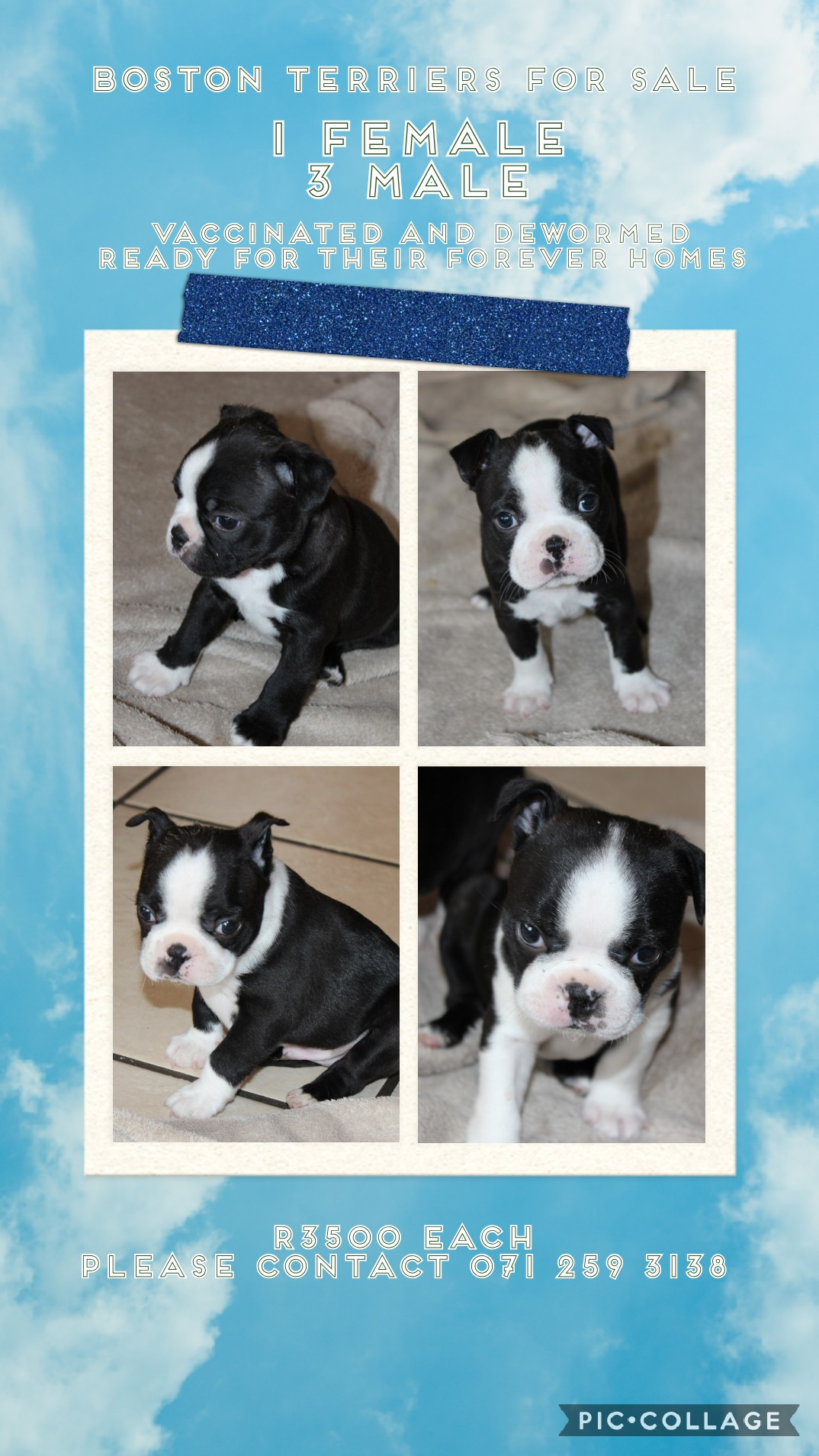 Boston Terrier Puppies in Other (07/10/2020)