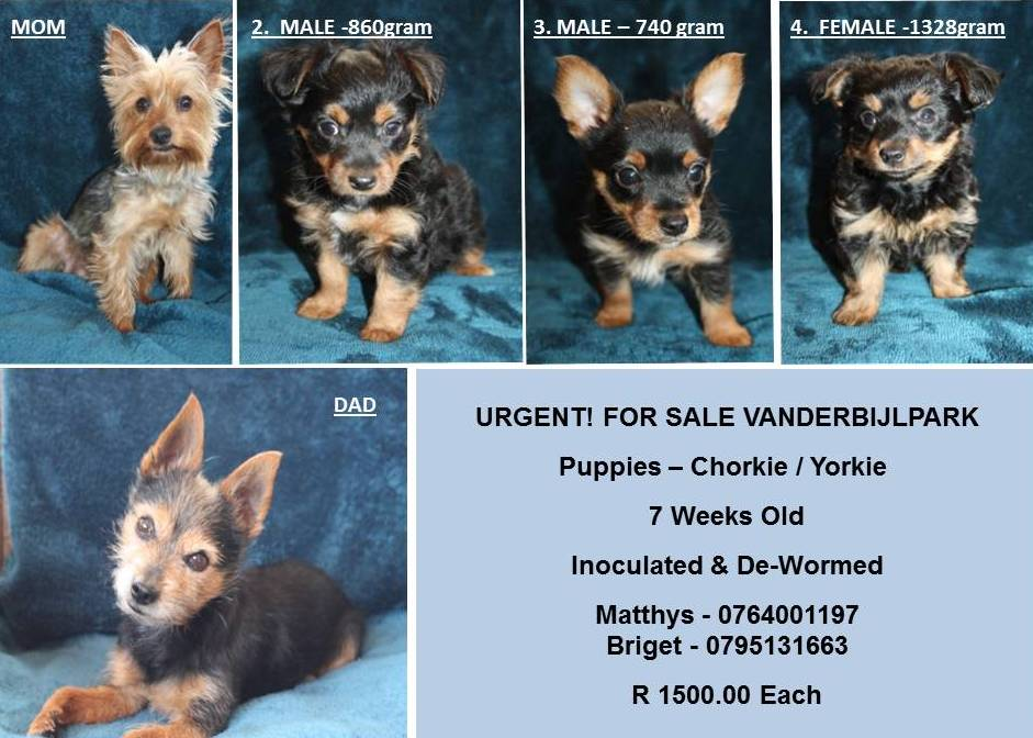 Yorkshire Puppies in Other (19/10/2020)