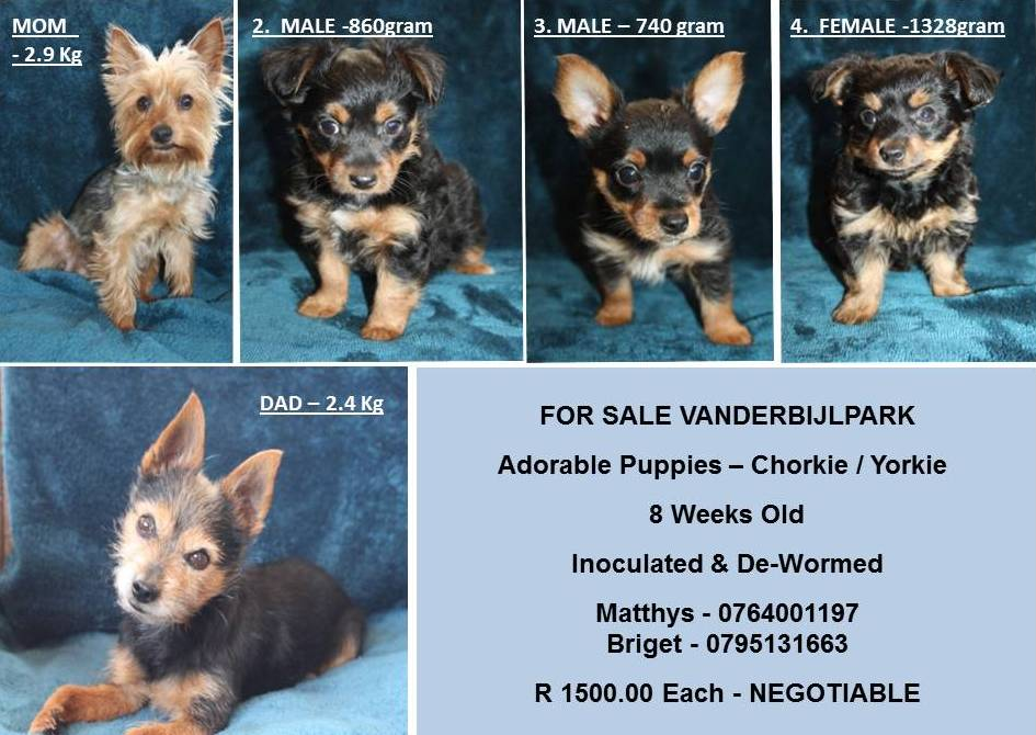 Yorkshire Puppies in Other (20/10/2020)