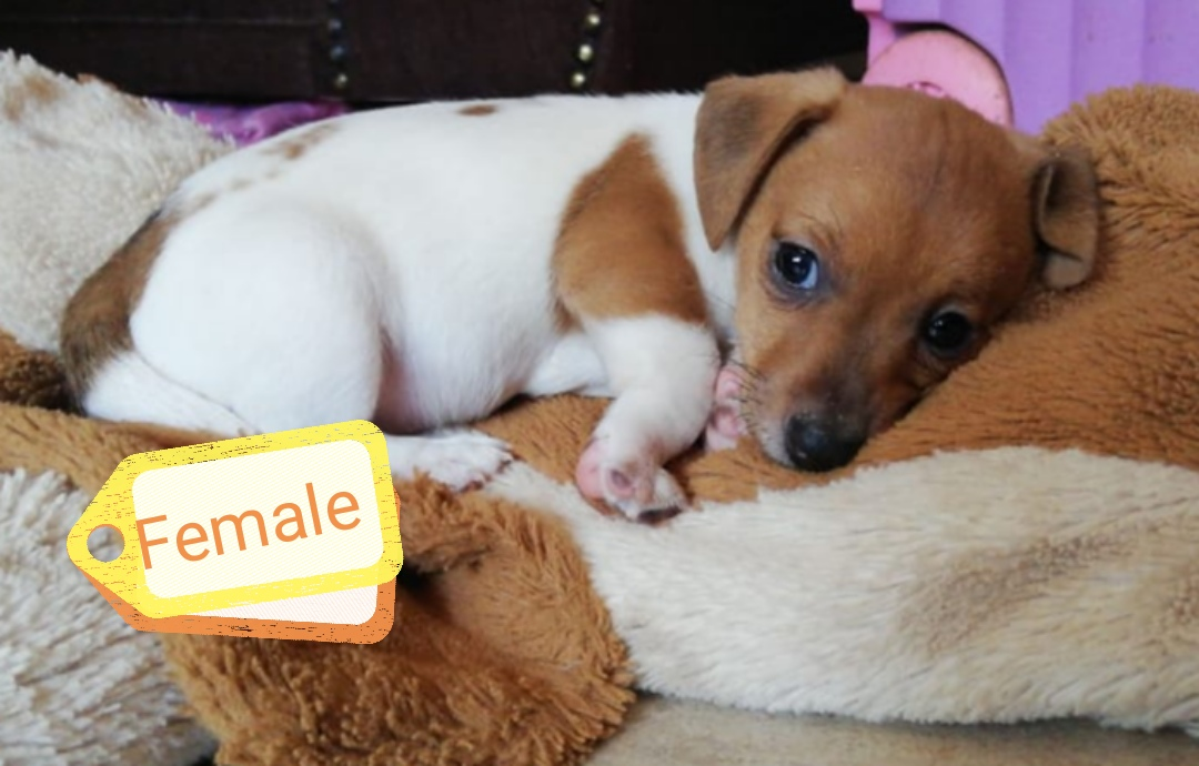 Jack Russell Puppies in Pretoria (20/10/2020)