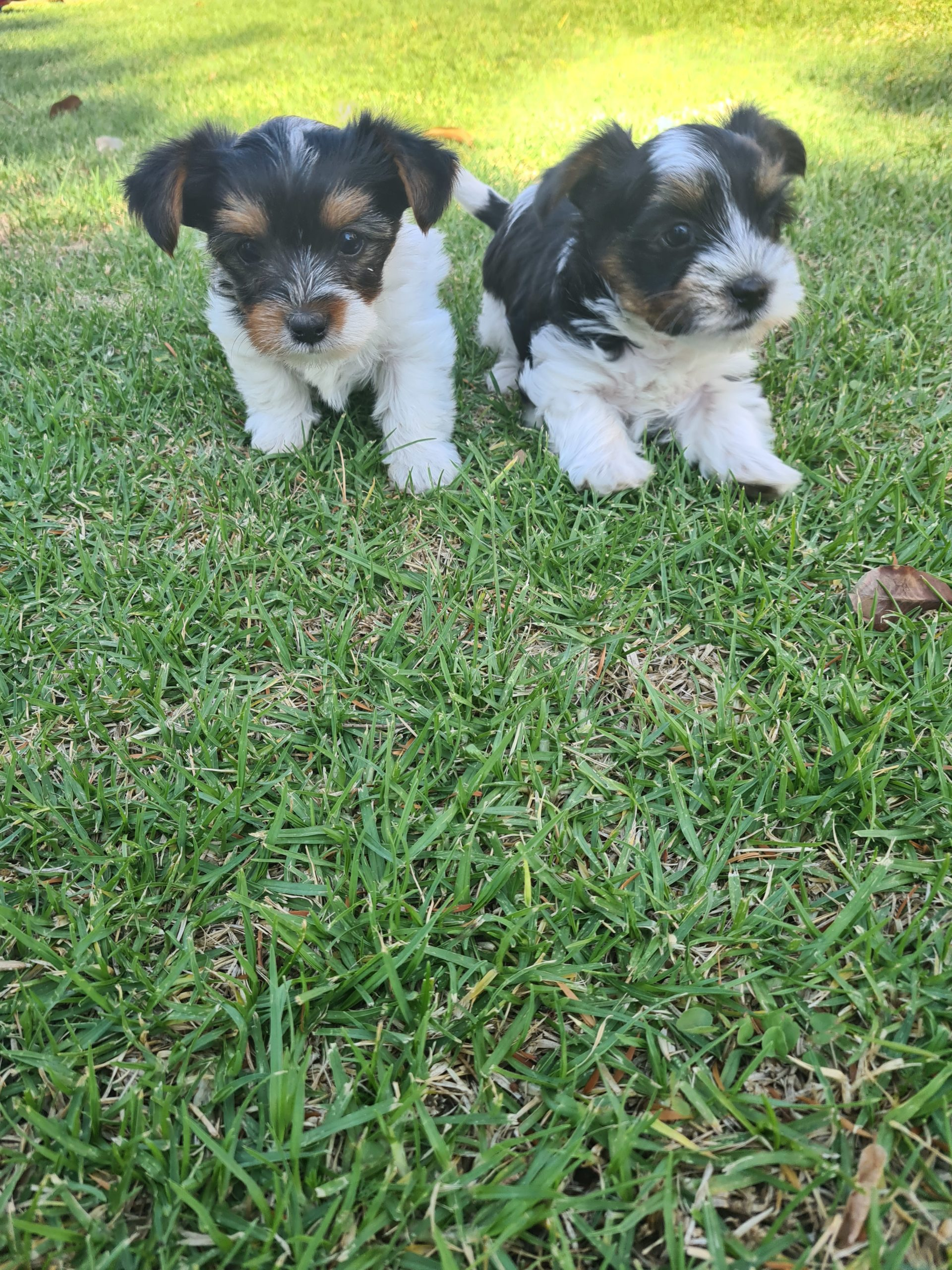 Yorkshire Puppies in East Rand (30/10/2020)