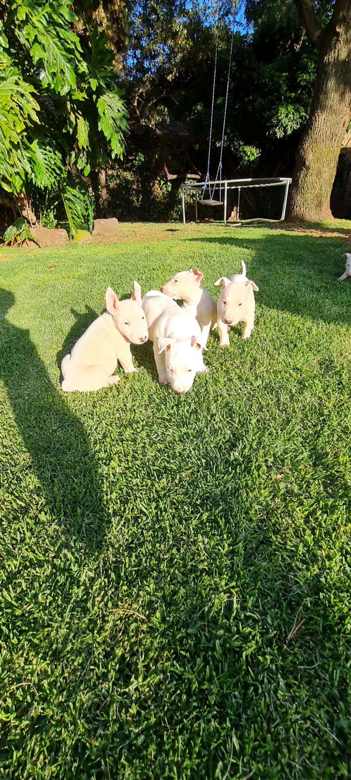 Bull Terrier Puppies in Other (12/10/2020)