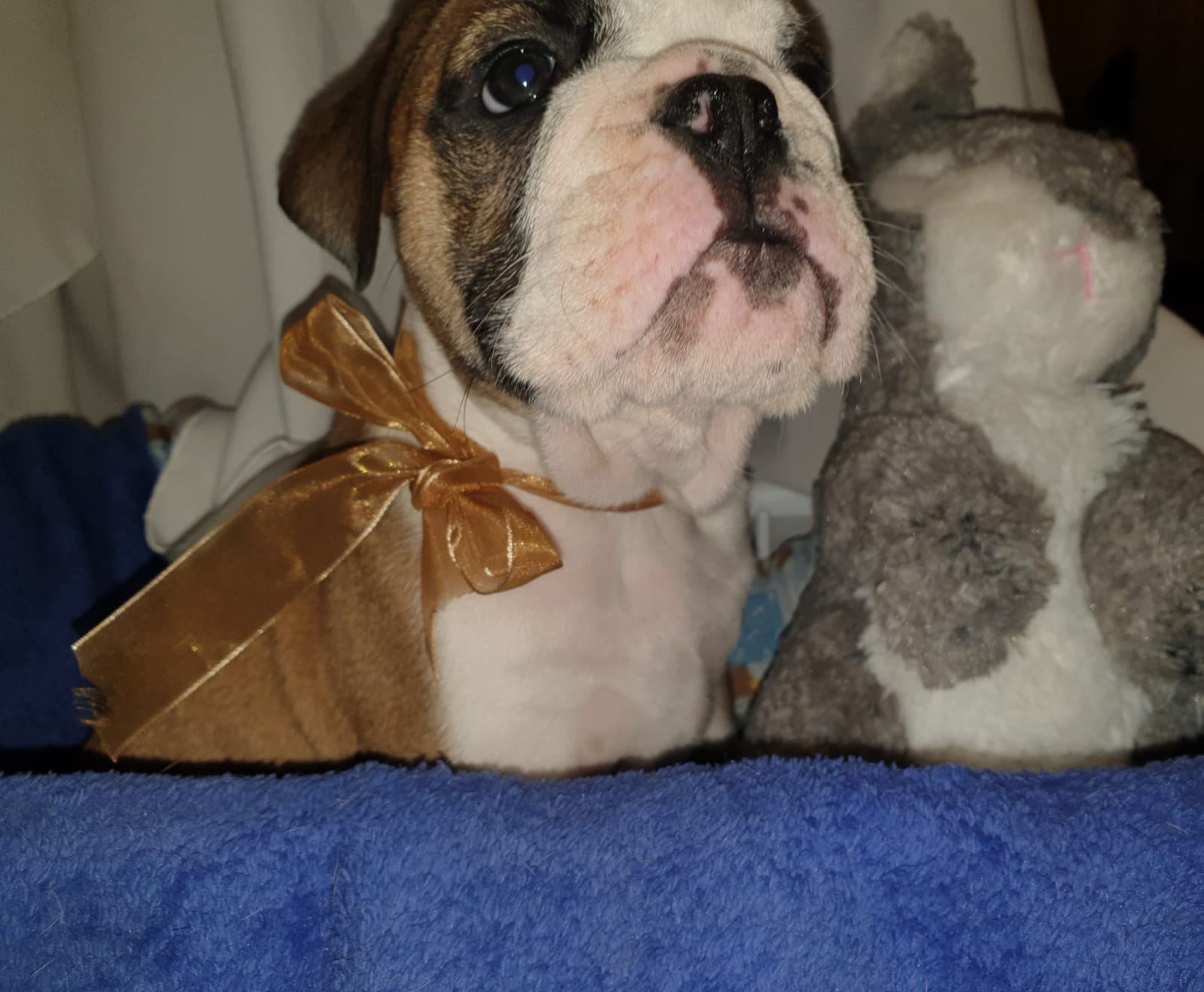 Bulldog Puppies in Other (14/10/2020)