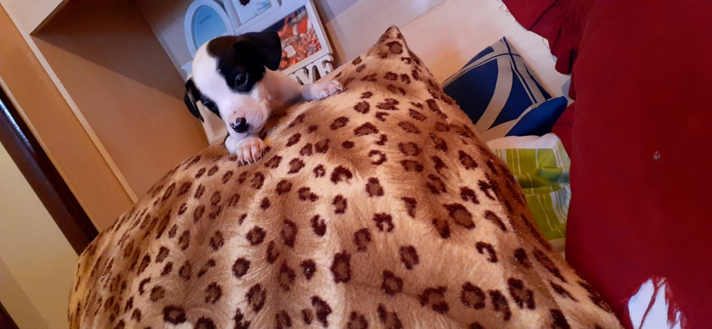 Pitbull Puppies in East Rand (13/11/2020)