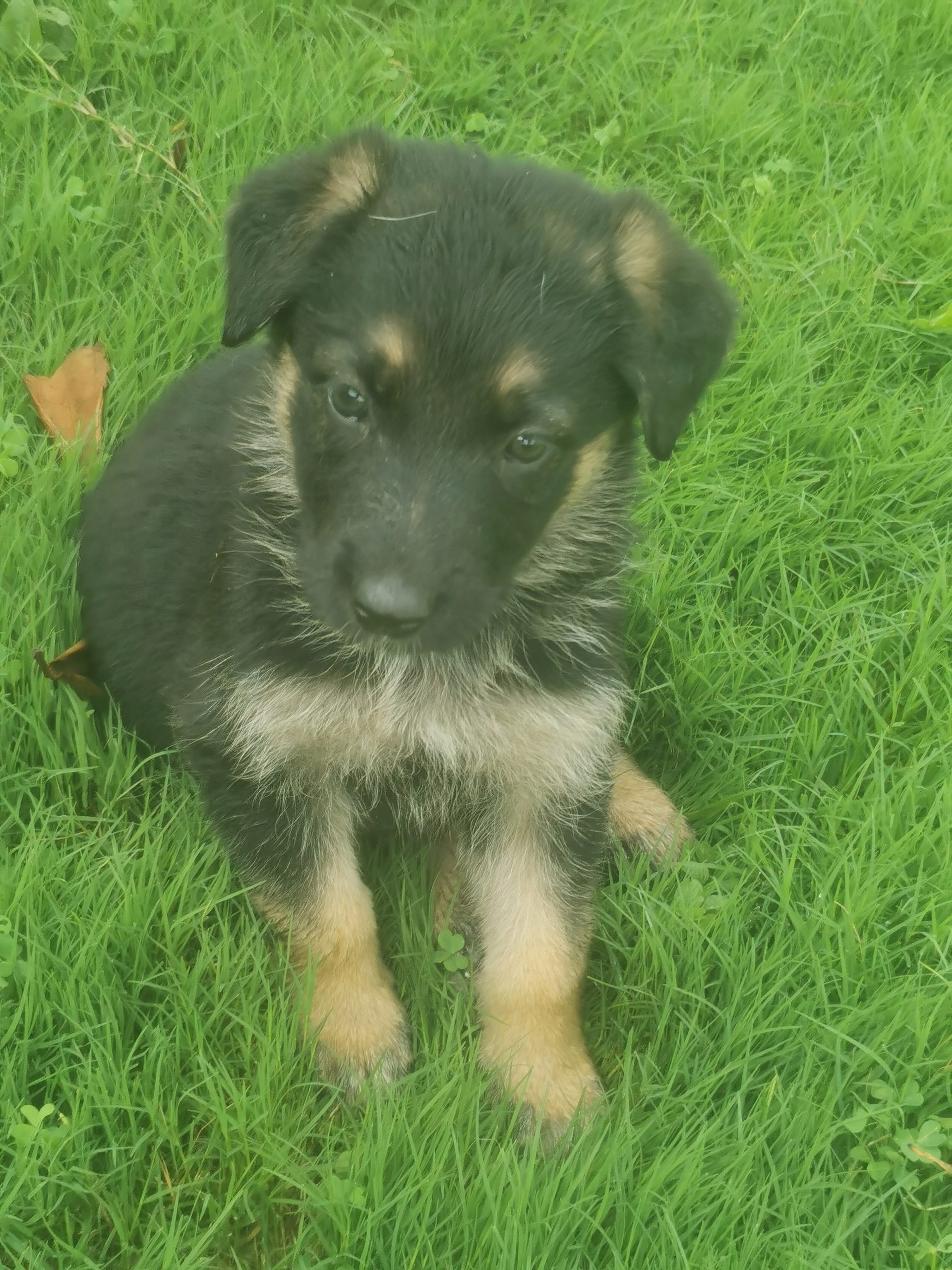 German Sheperd Puppies in Kwazulu Natal (05/11/2020)