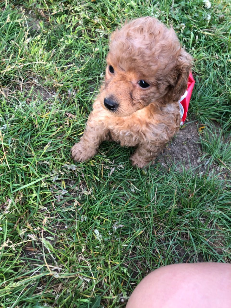 Poodle Puppies in Other (27/12/2020)