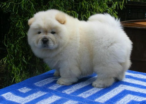 Chow Puppies in Cape Town (21/12/2020)