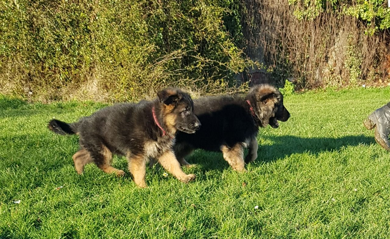 German Sheperd Puppies in Other (26/12/2020)