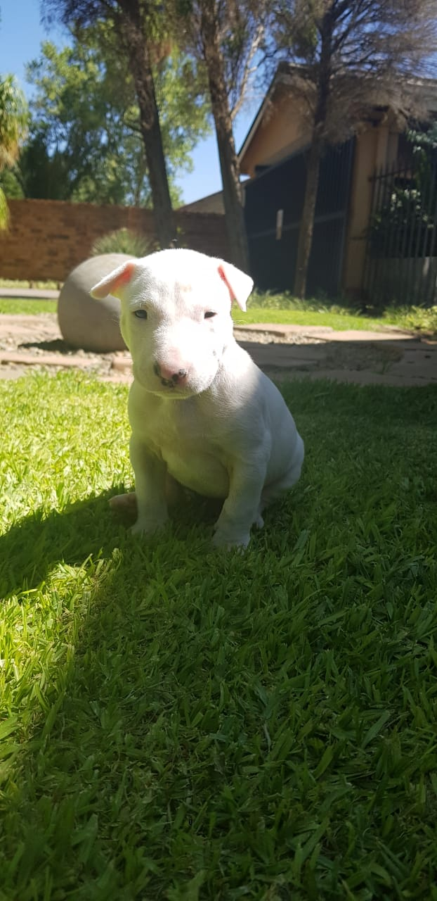 Bull Terrier Puppies in Welkom (05/12/2020)