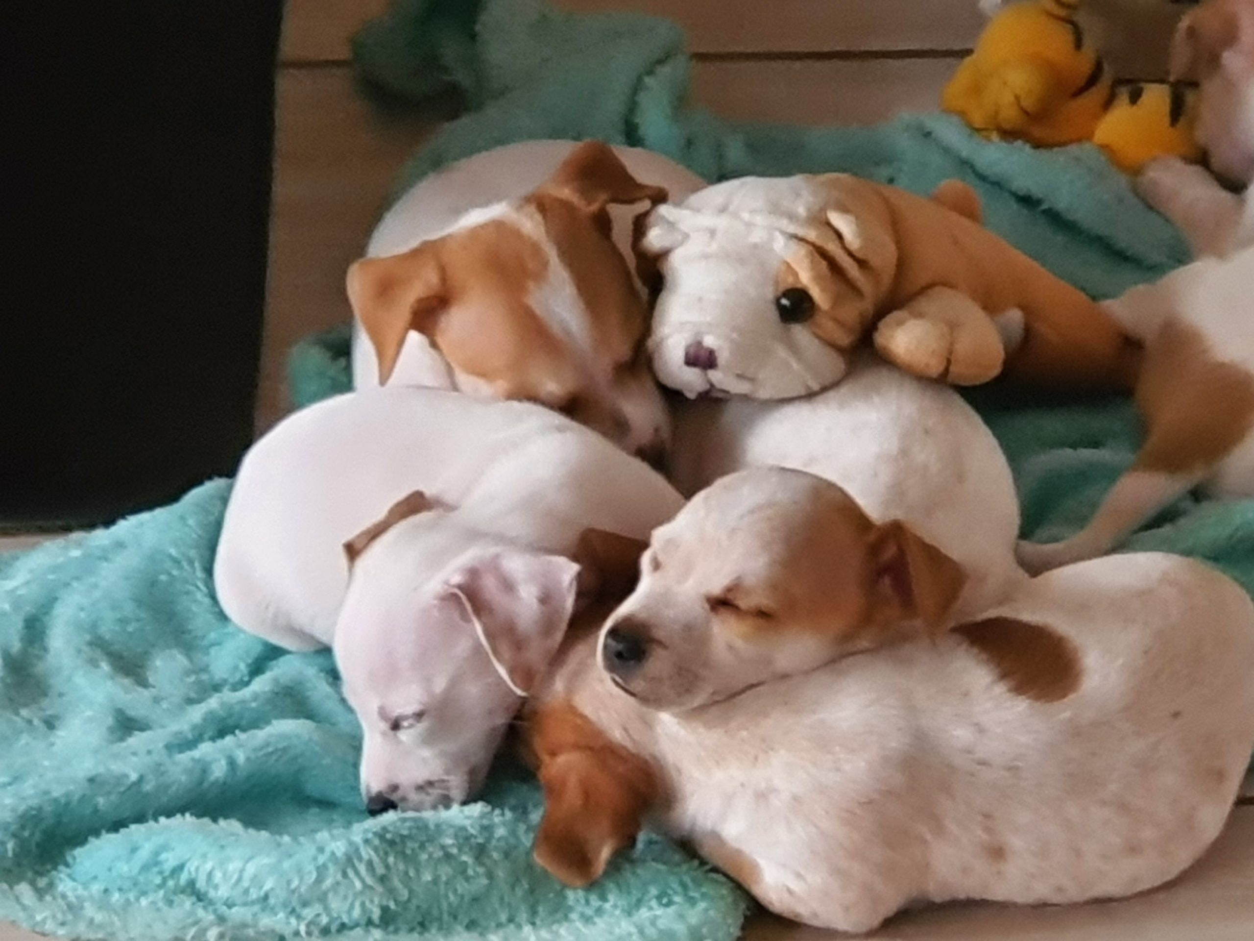 Jack Russell Puppies in Johannesburg (22/12/2020)