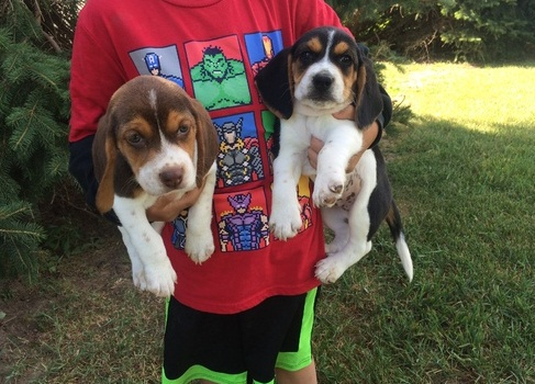 Beagle Puppies in George (21/12/2020)