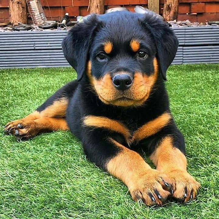Rottweiler Puppies in Other (17/12/2020)
