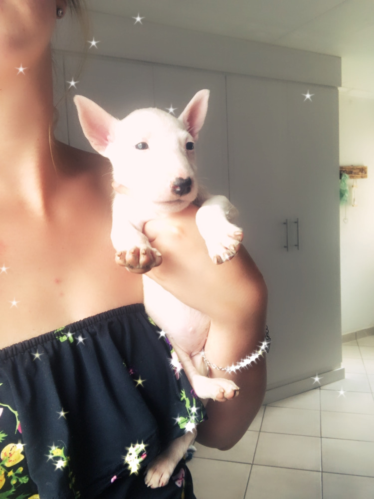 Bull Terrier Puppies in East Rand (12/01/2021)