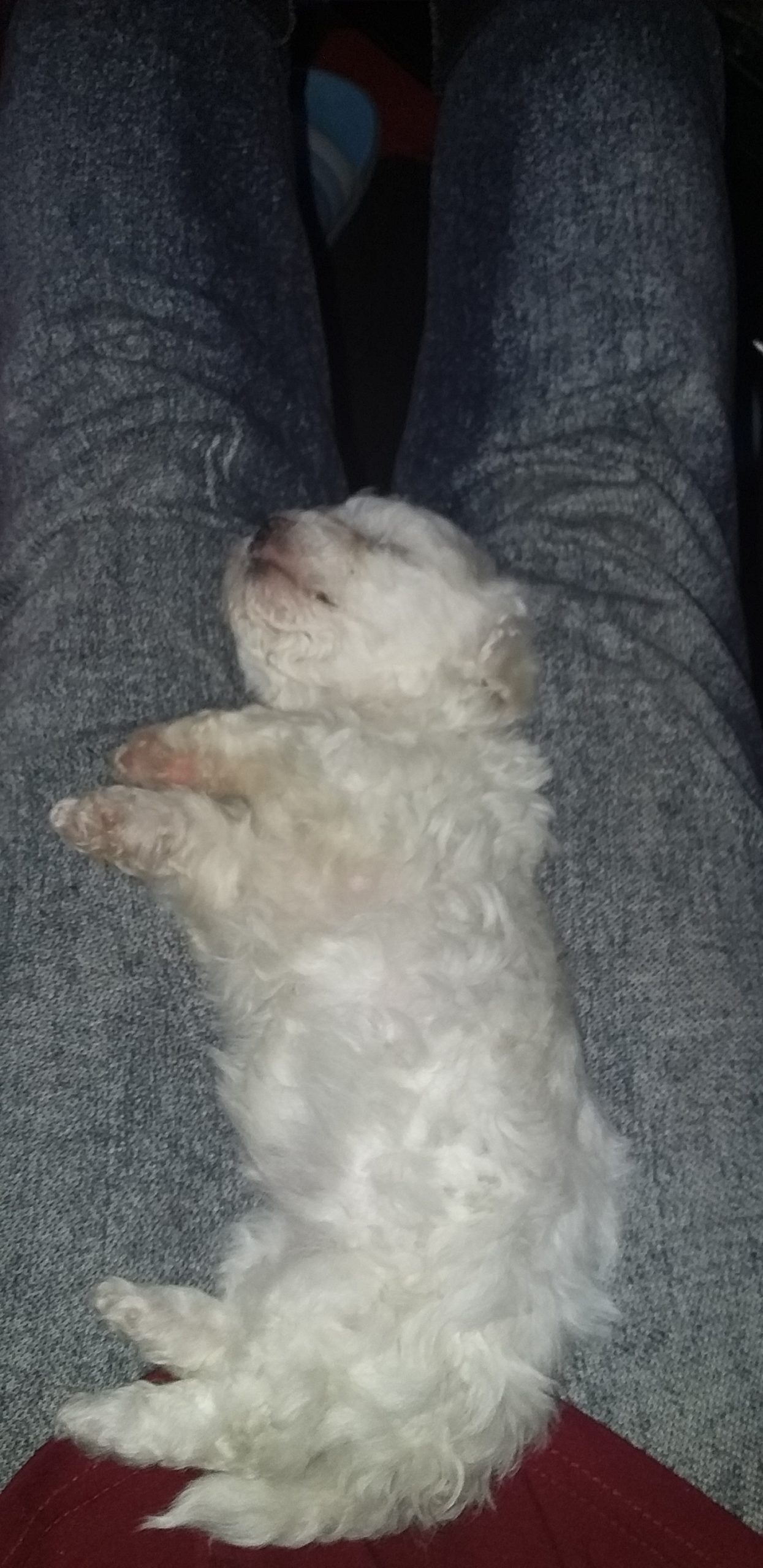 Poodle Puppies in Other (23/01/2021)