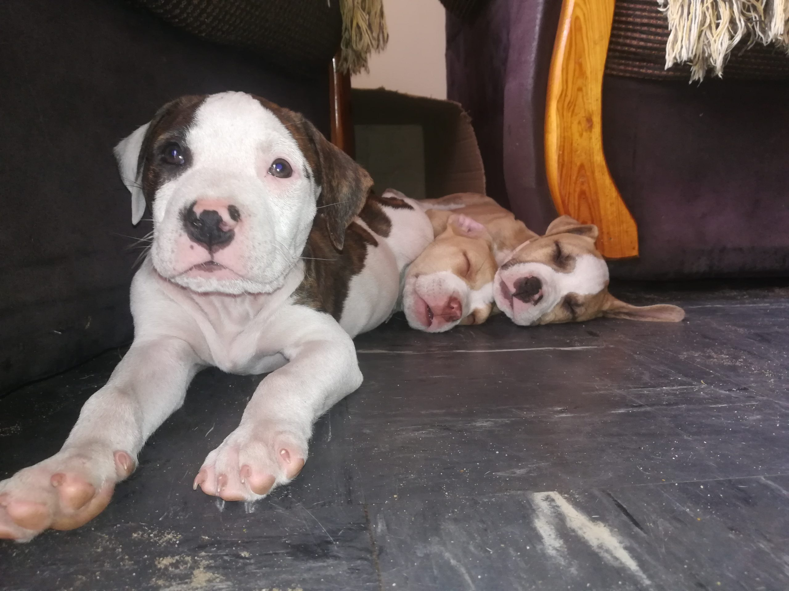 Pitbull Puppies in Cape Town (30/01/2021)