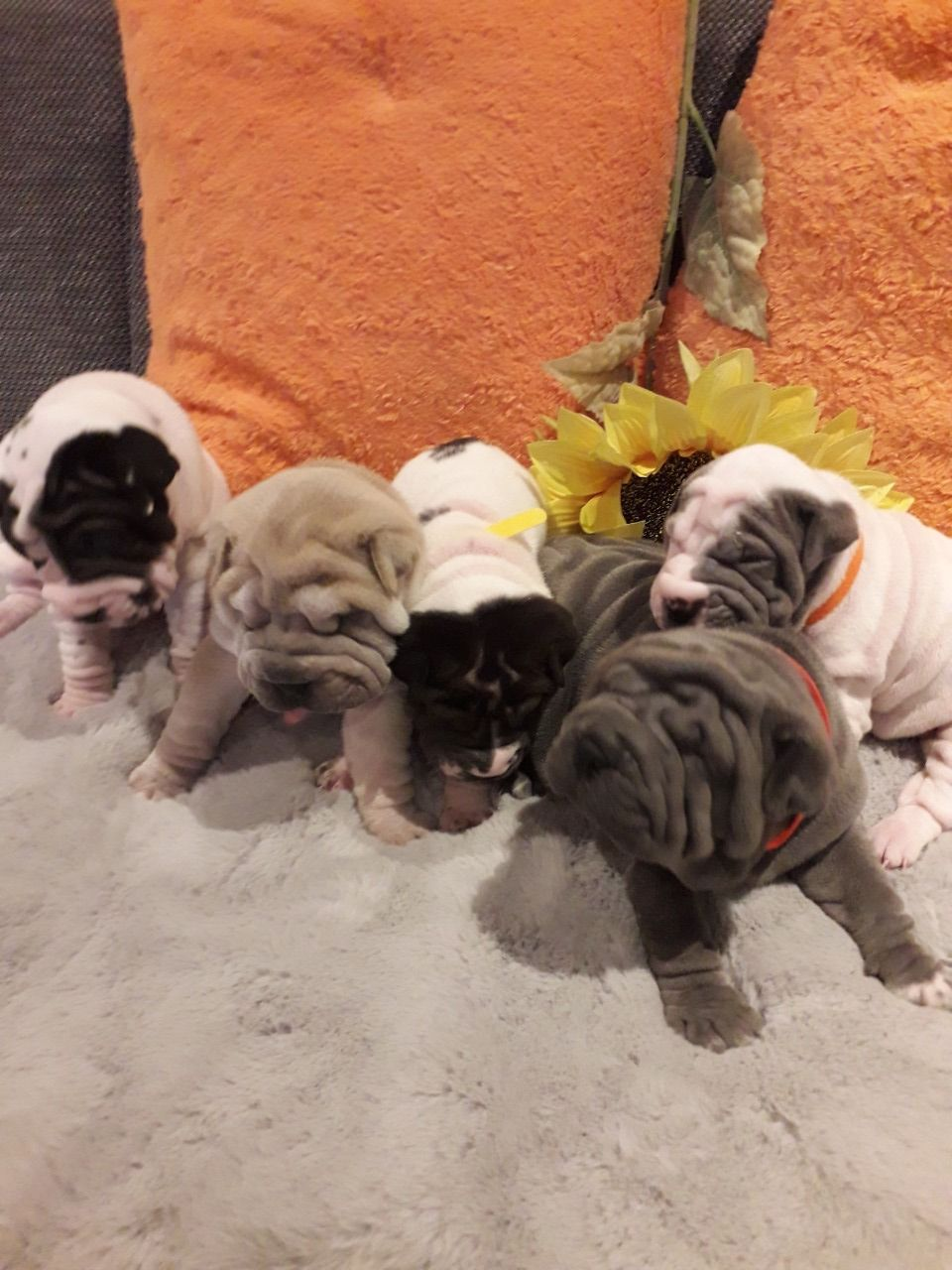 Sharpei Puppies in Other (08/01/2021)