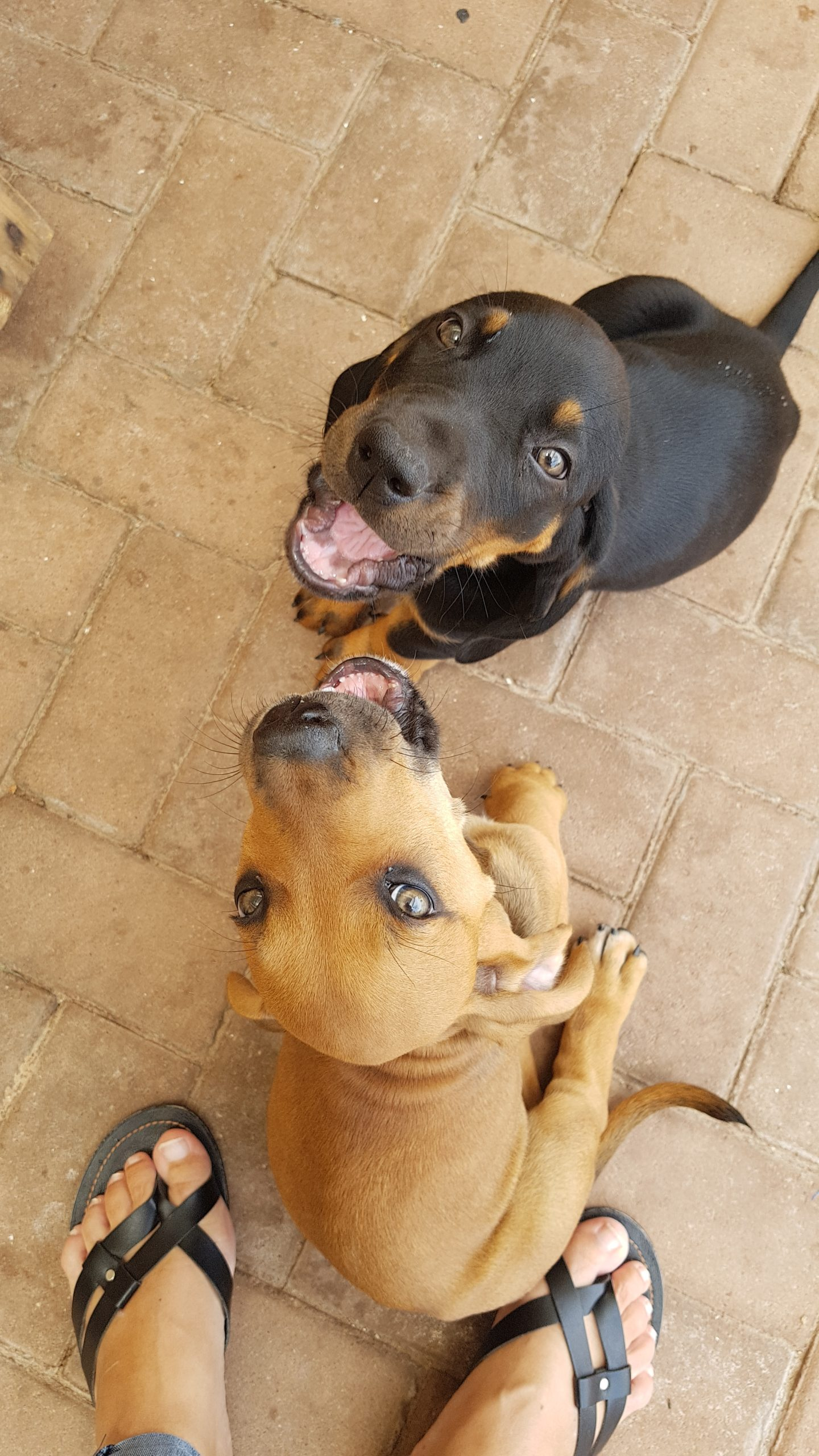 Boerboel Puppies in Other (05/01/2021)