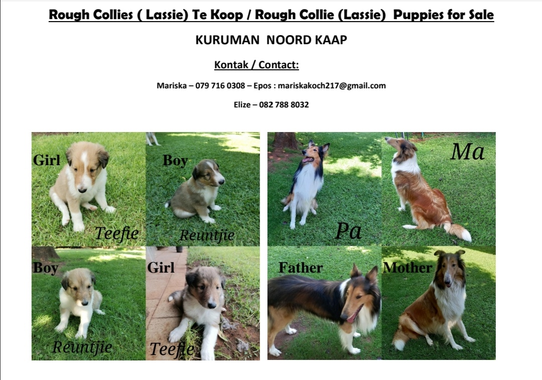 Collie Puppies in Kimberley (28/01/2021)