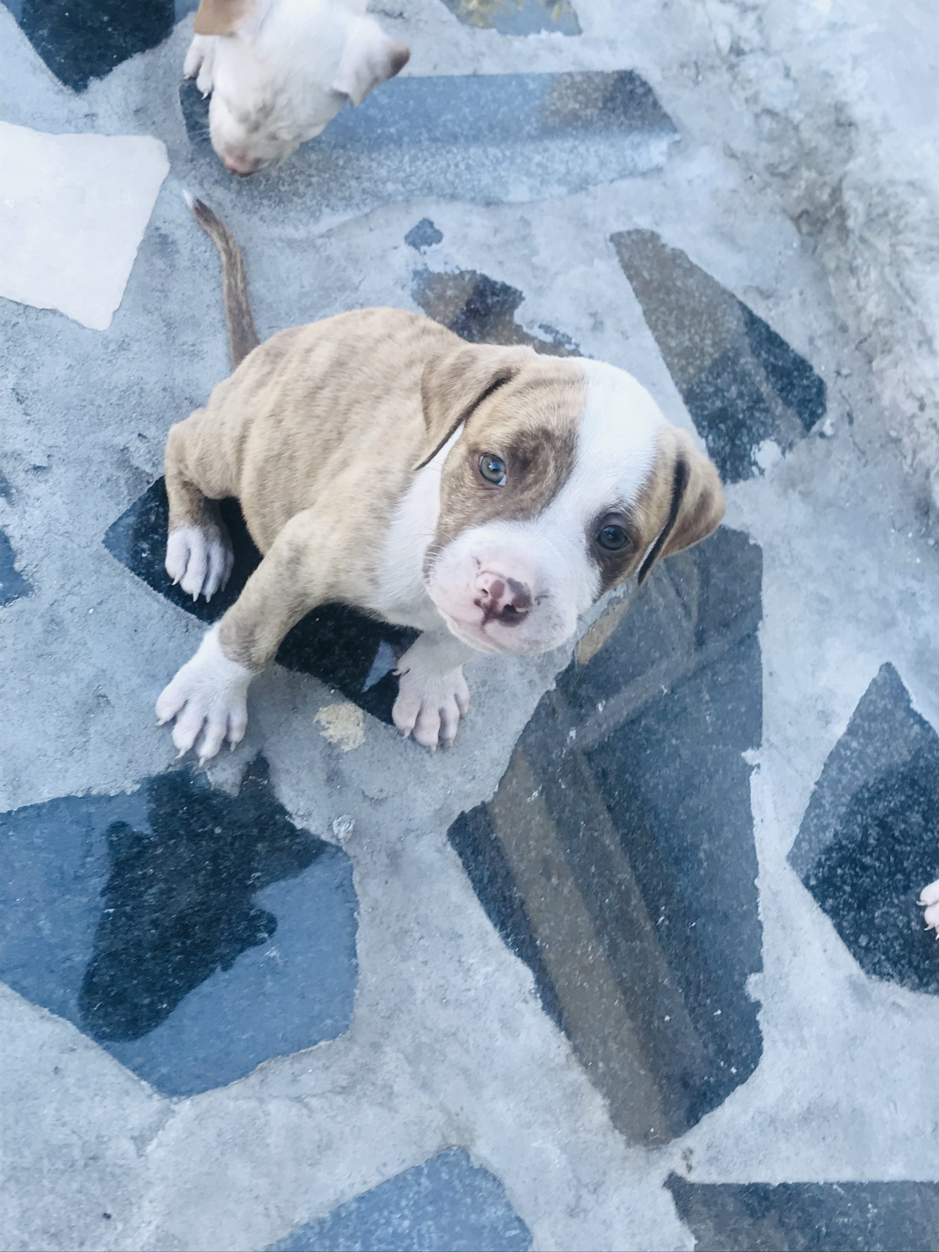 Pitbull Puppies in Cape Town (05/02/2021)