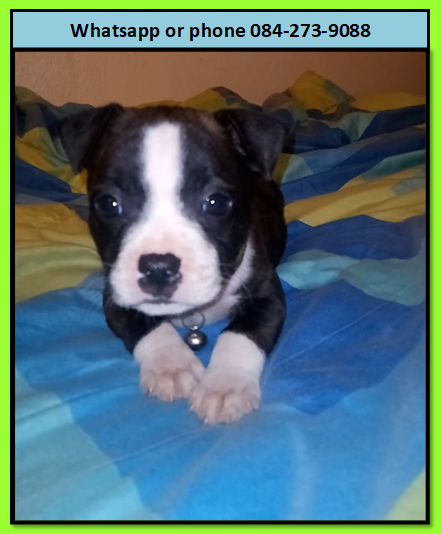 Staffie Puppies in East Rand (07/02/2021)