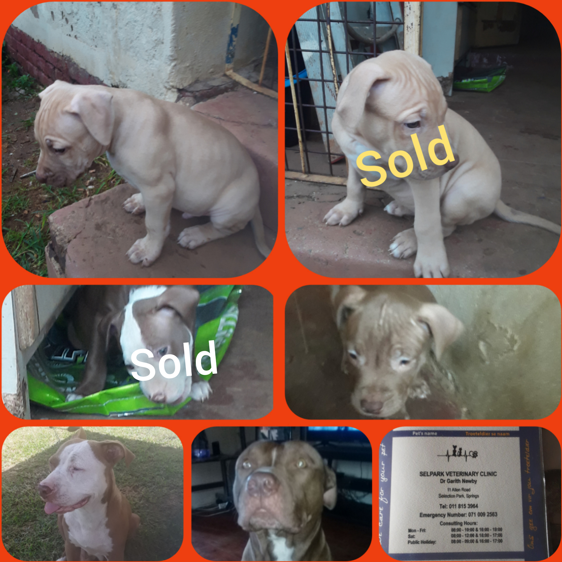 Pitbull Puppies in East Rand (22/02/2021)
