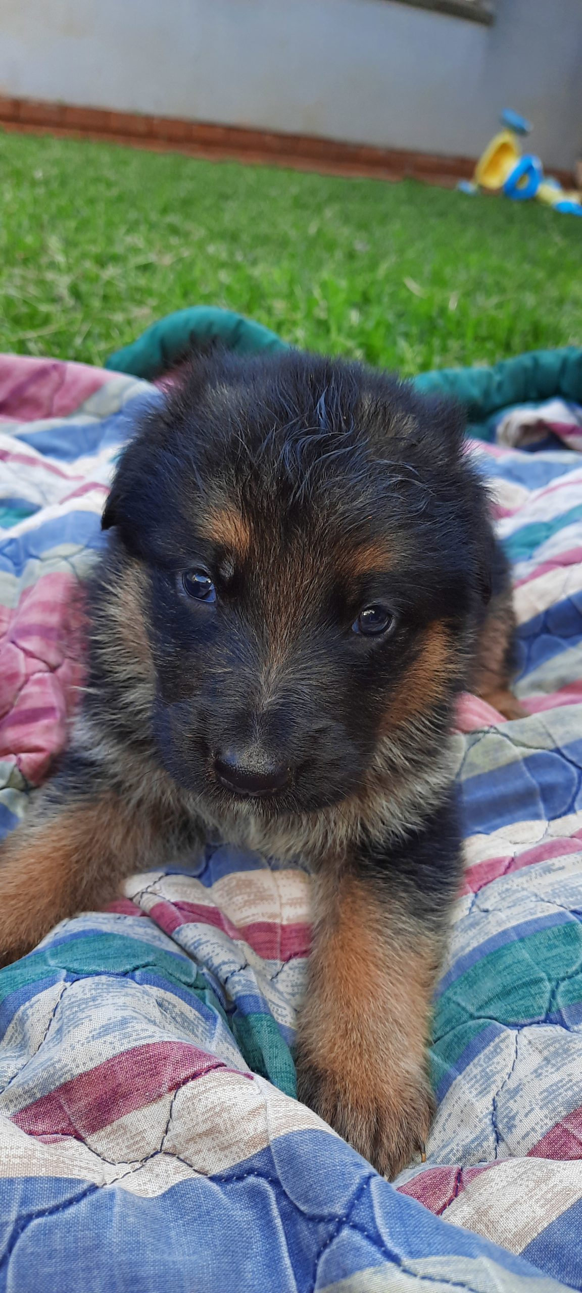 German Sheperd Puppies in Klerksdorp (14/02/2021)
