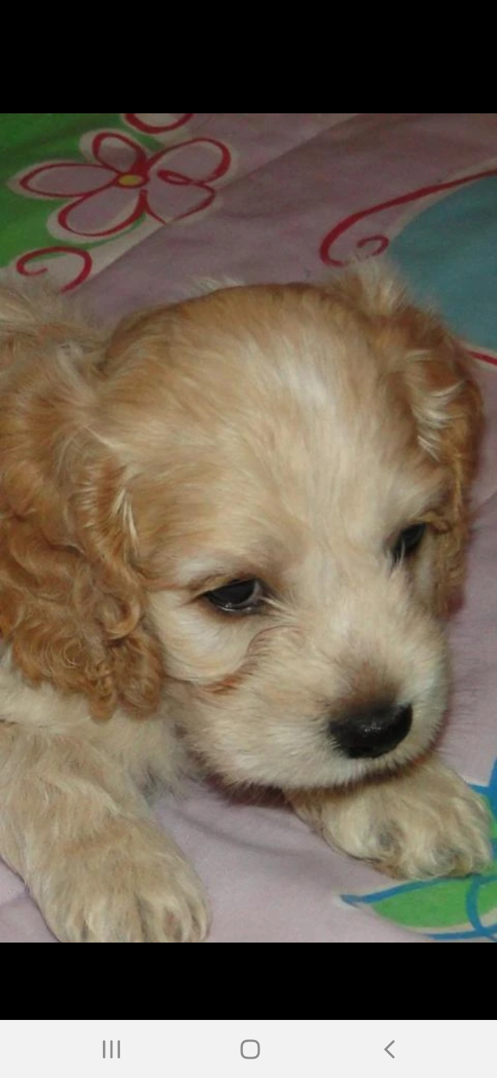 Spaniel Puppies in East Rand (15/02/2021)