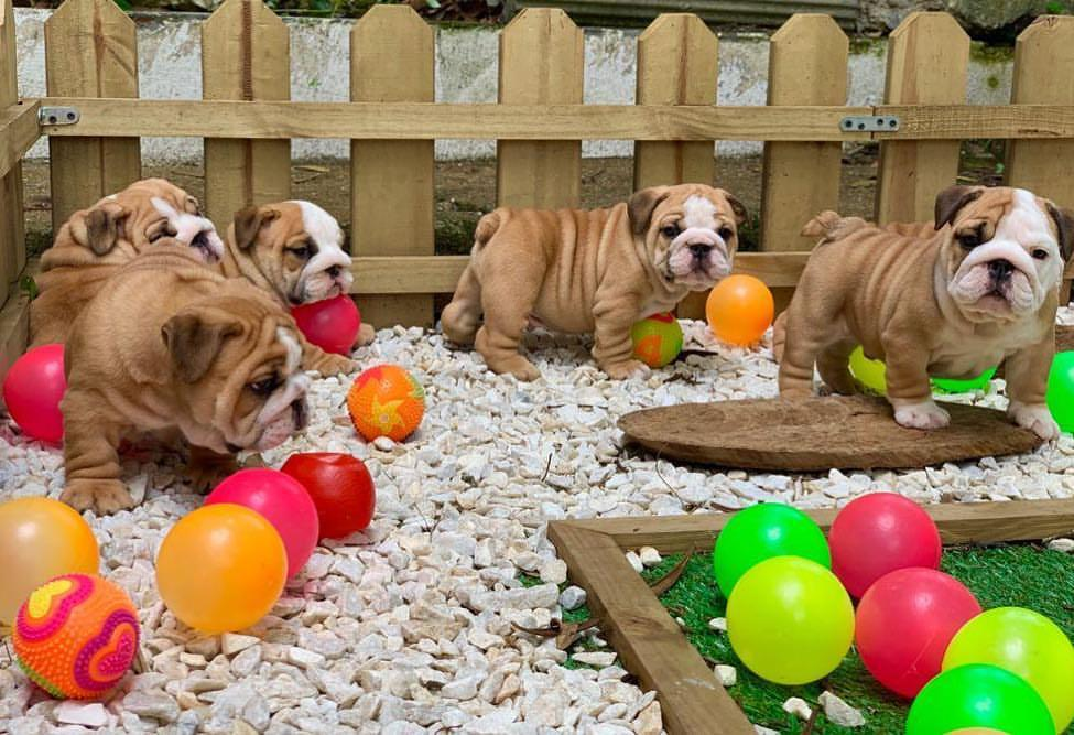 Bulldog Puppies in Welkom (12/03/2021)