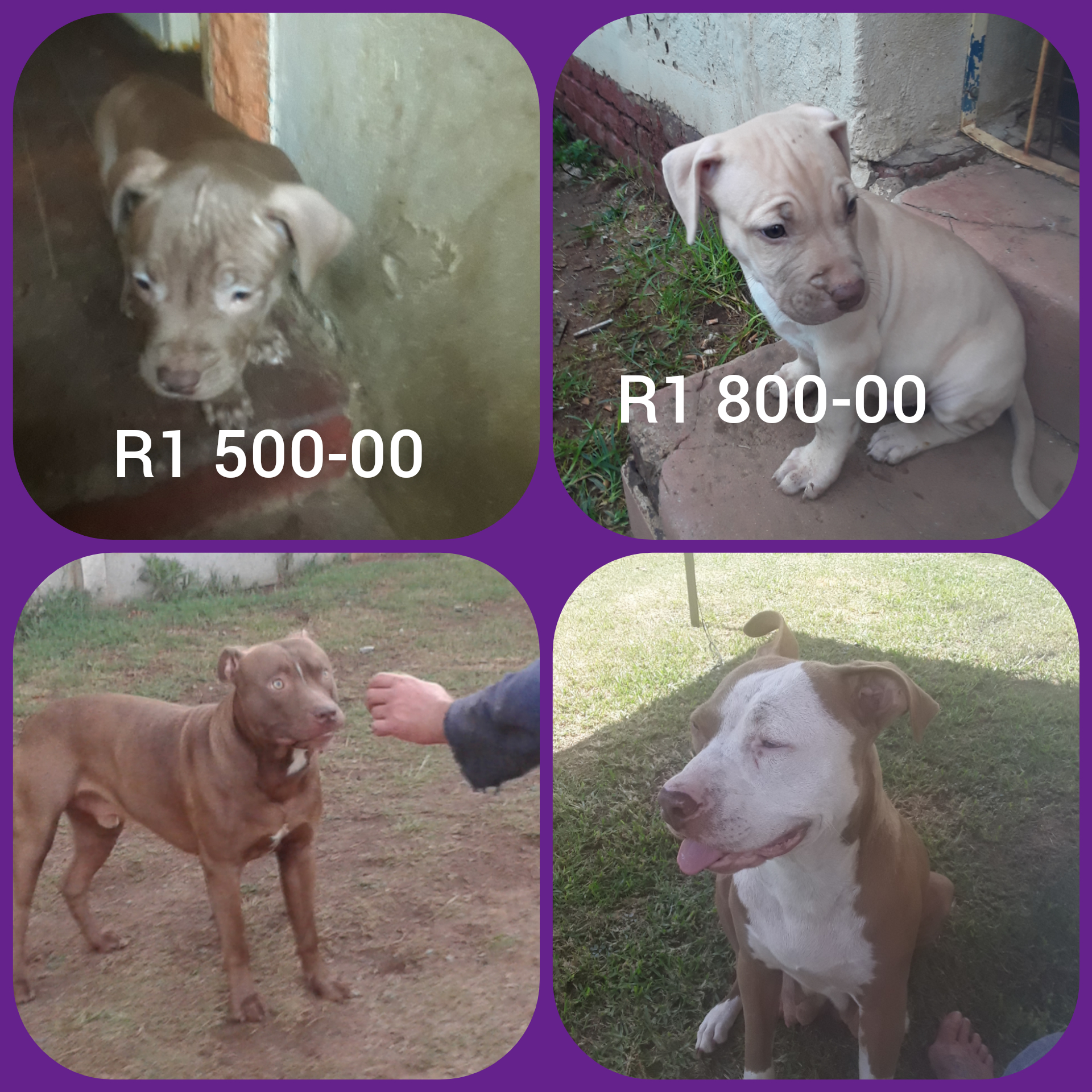 Pitbull Puppies in East Rand (03/03/2021)