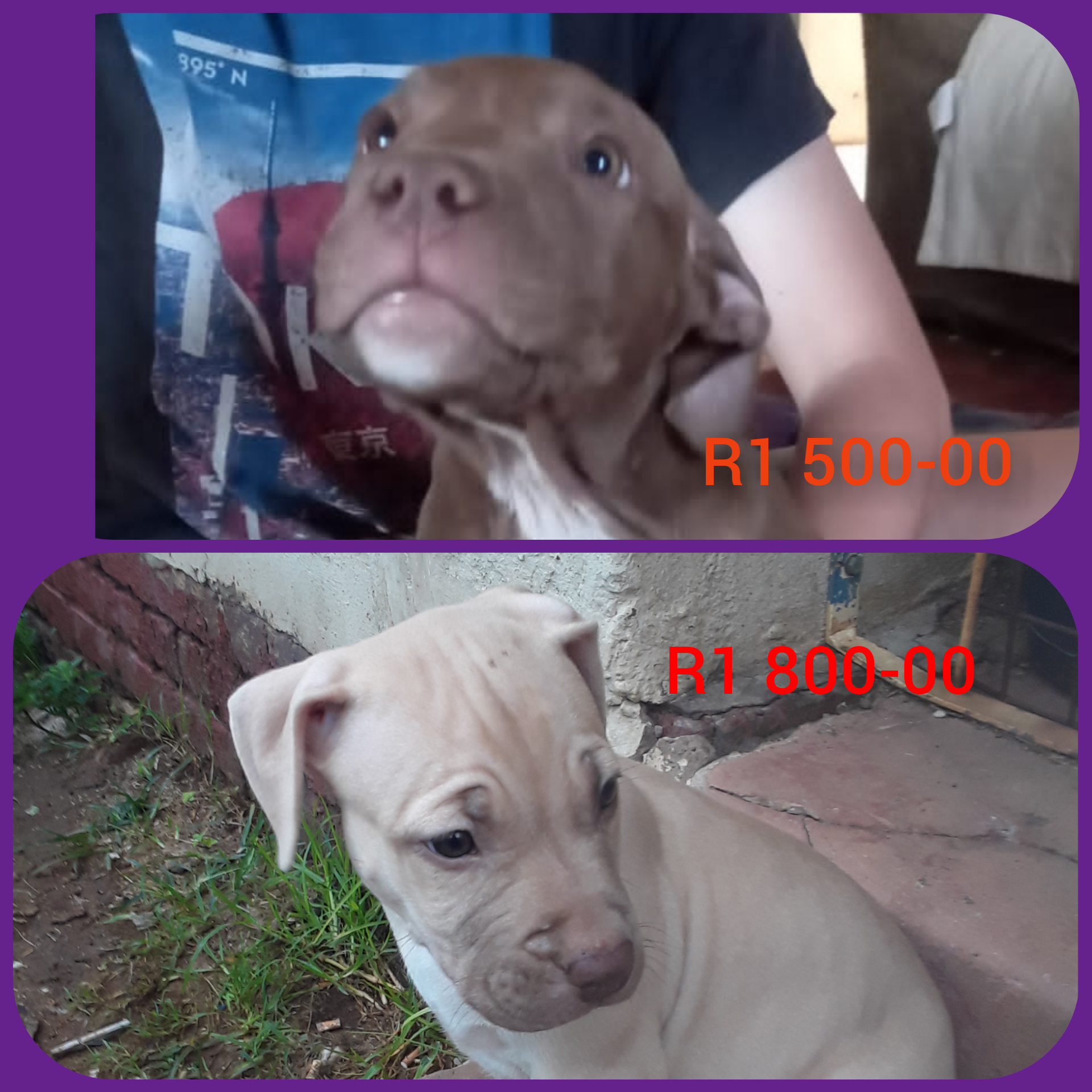 Pitbull Puppies in East Rand (08/03/2021)
