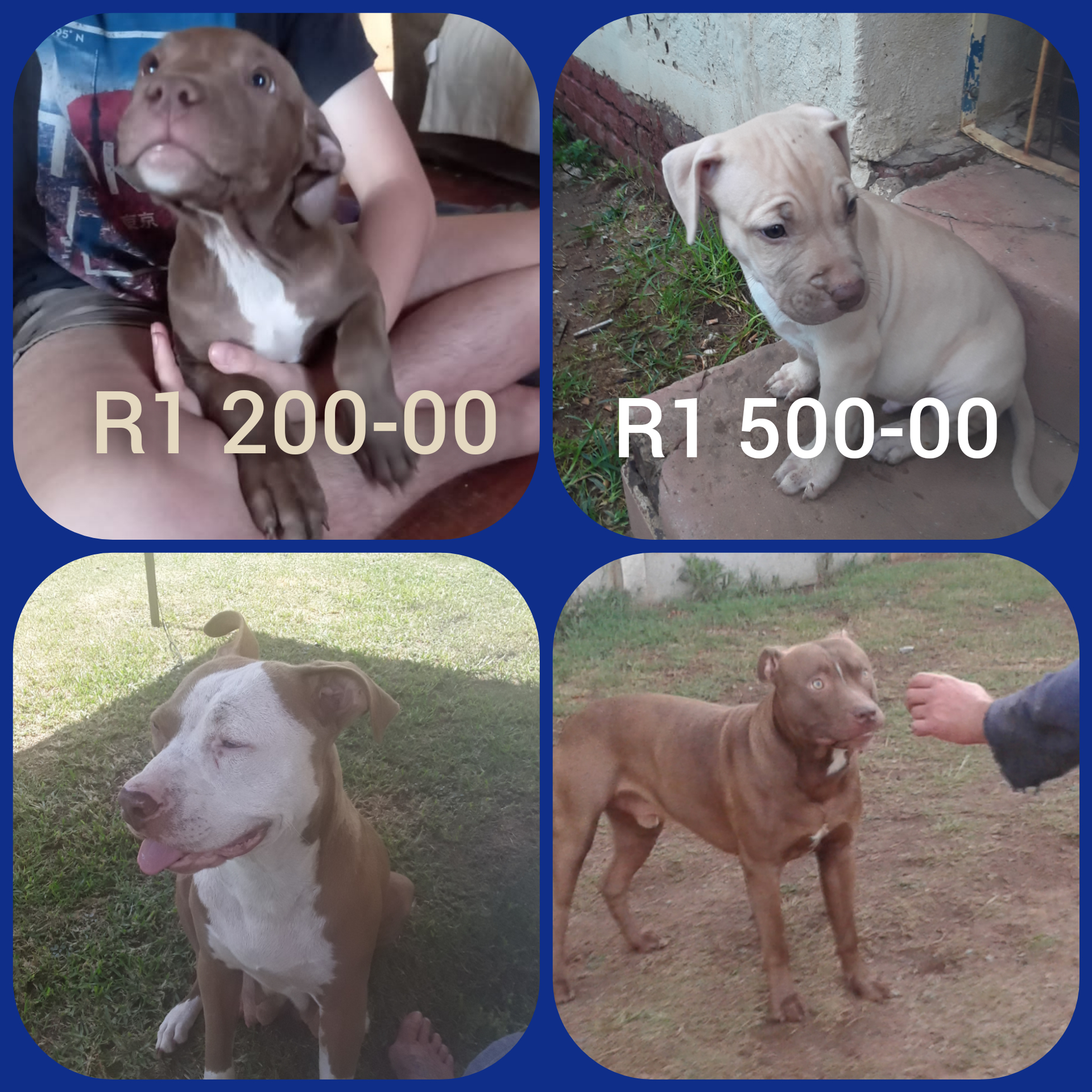 Pitbull Puppies in East Rand (09/03/2021)