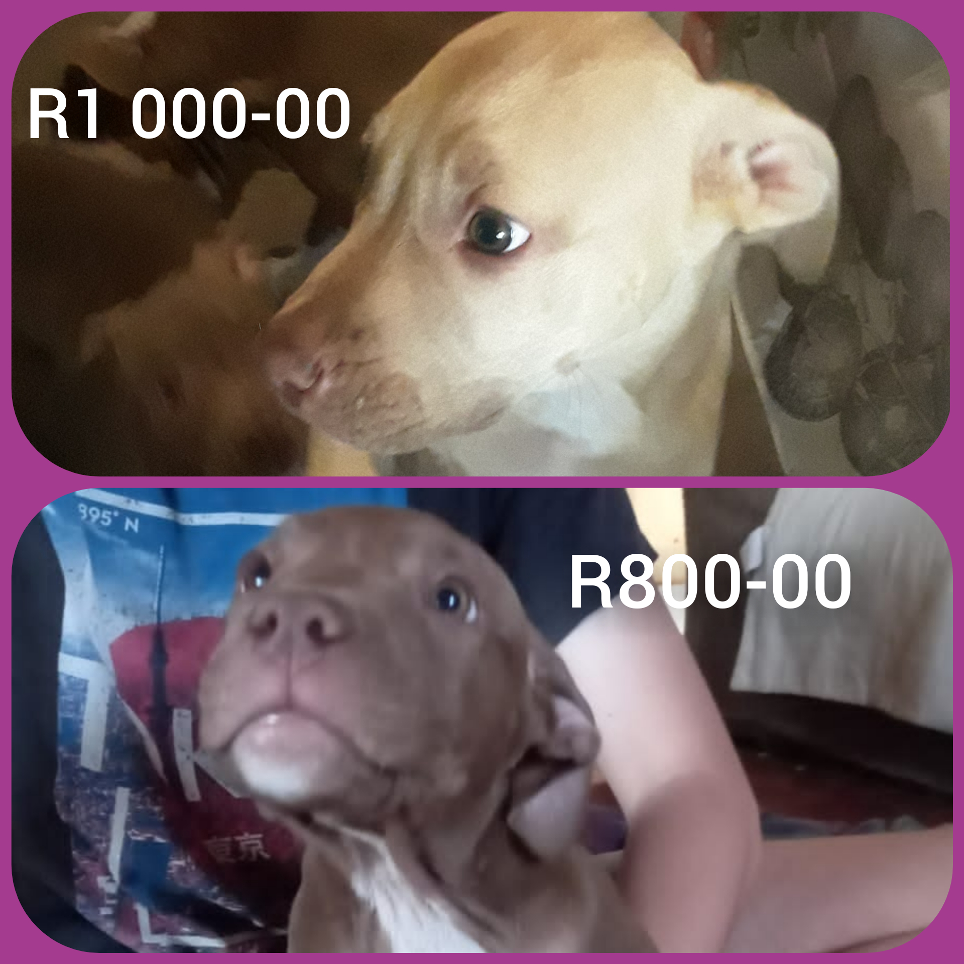 Pitbull Puppies in East Rand (23/03/2021)