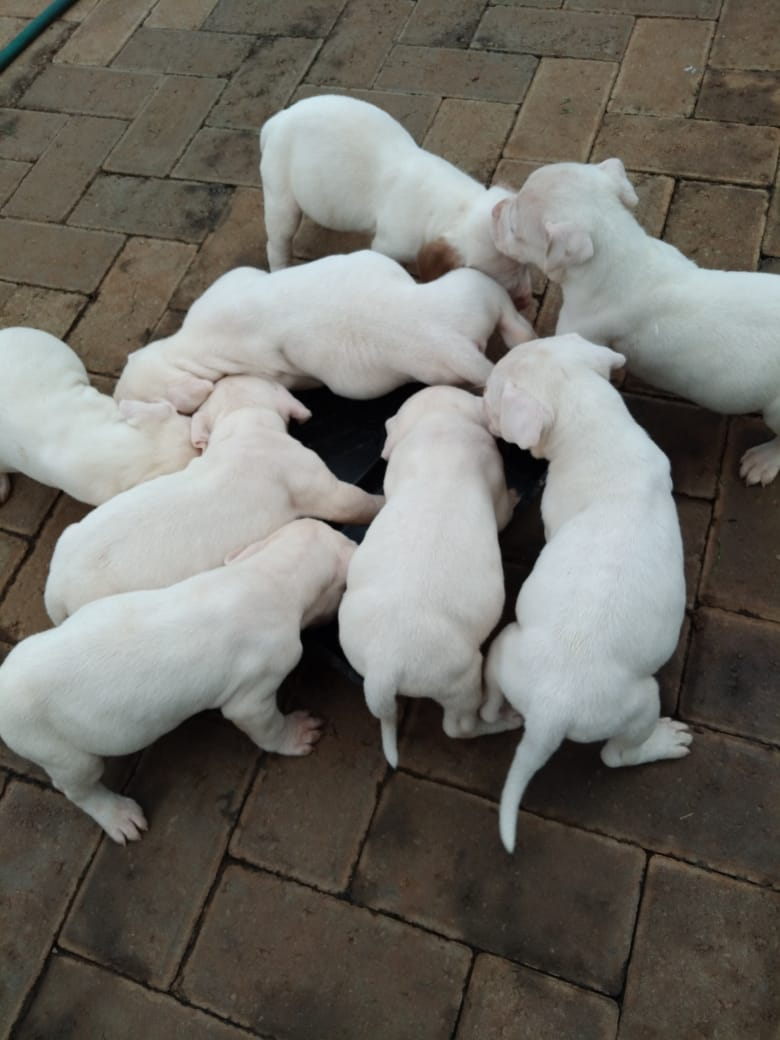 Pitbull Puppies in East Rand (06/03/2021)