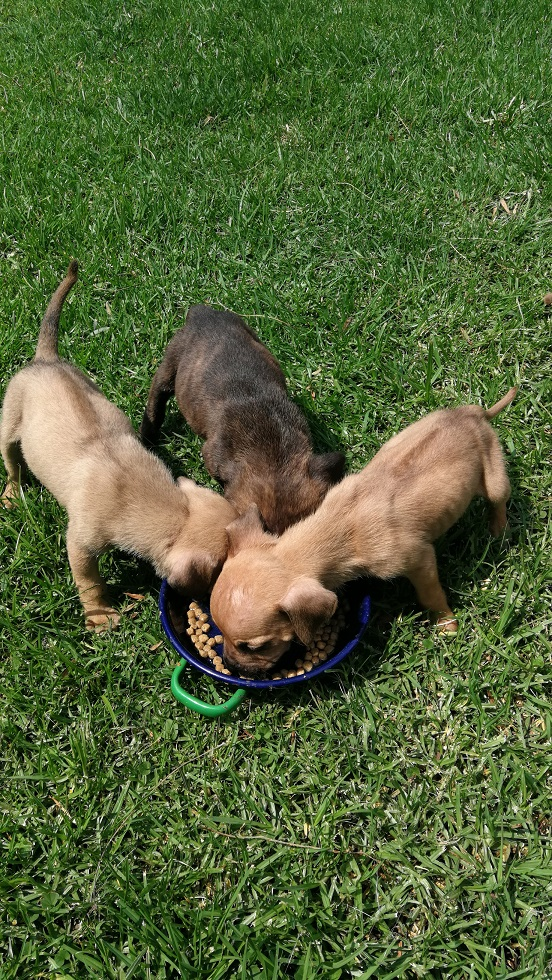 Boerboel Puppies in East Rand (18/03/2021)