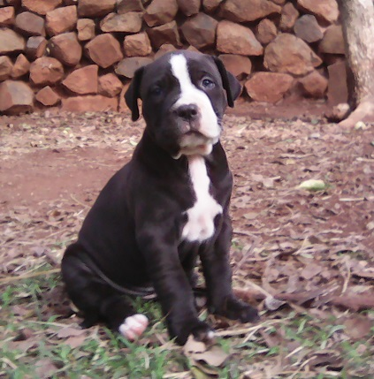 Pitbull Puppies in Other (23/03/2021)