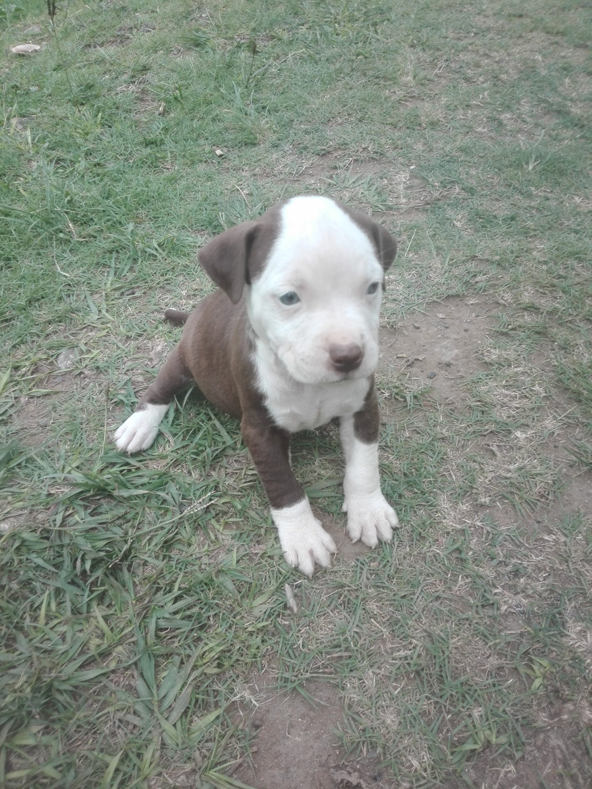 Pitbull Puppies in Other (30/03/2021)